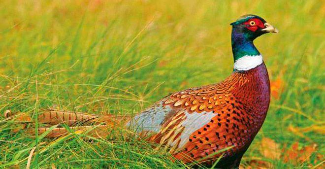 Охота на фазана с загоном собаками