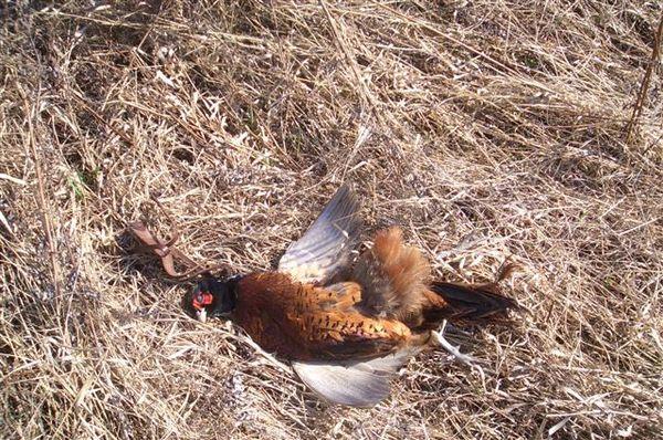 охота фазанов подмосковье фото №1