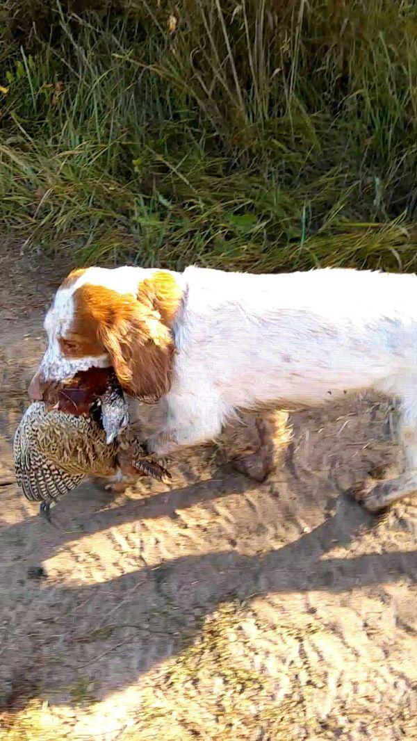 охота фазанов подмосковье фото №101