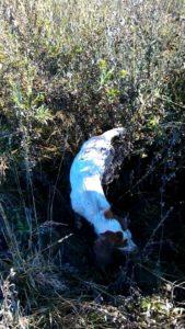 охота фазанов подмосковье фото №109