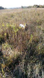 охота фазанов подмосковье фото №112