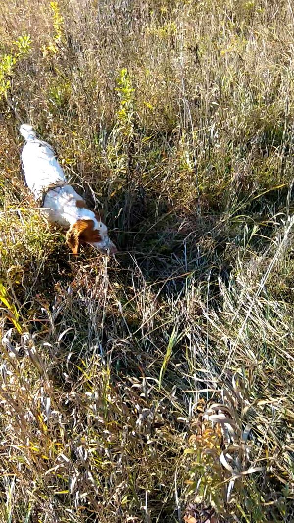 охота фазанов подмосковье фото №113