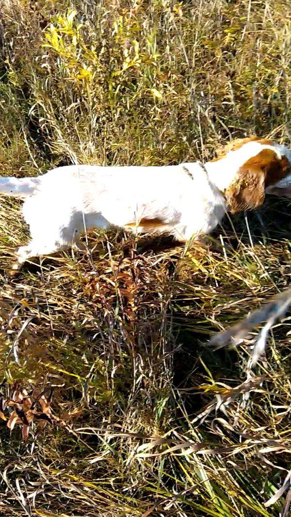 охота фазанов подмосковье фото №114