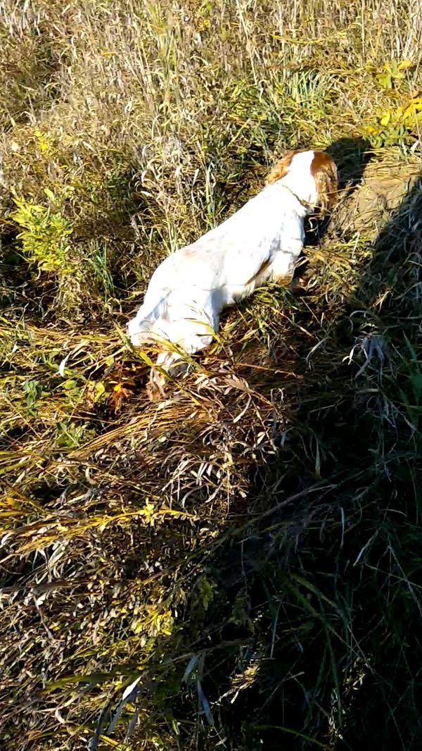 охота фазанов подмосковье фото №115