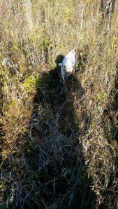 охота фазанов подмосковье фото №116