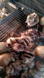 охота фазанов подмосковье фото №124
