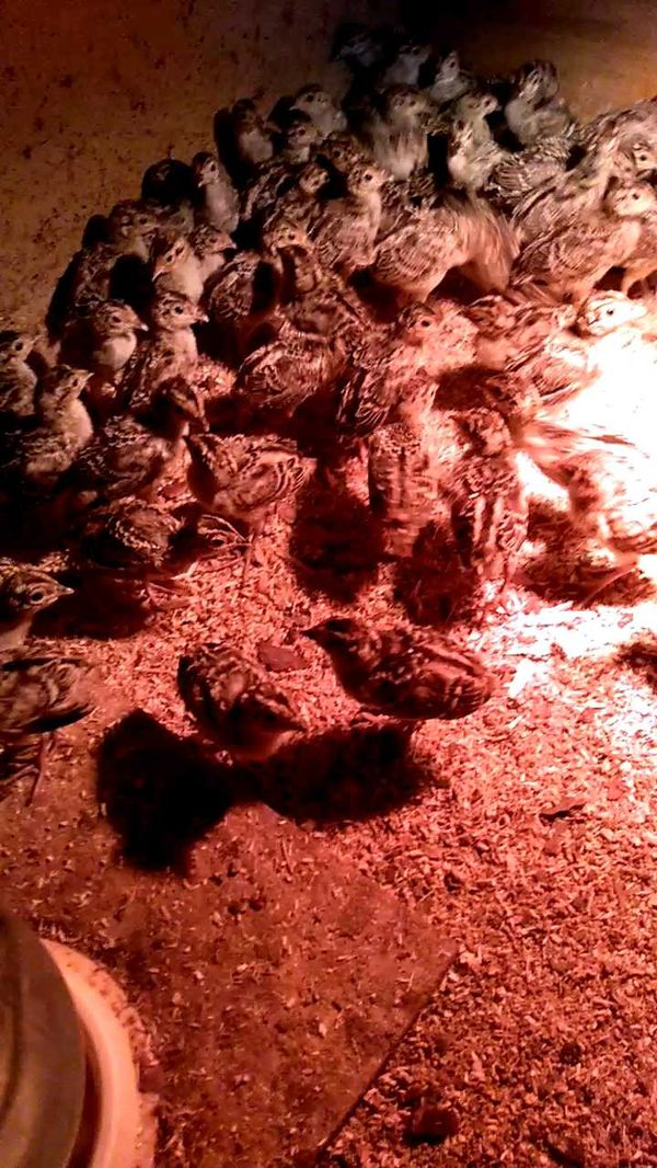 охота фазанов подмосковье фото №132