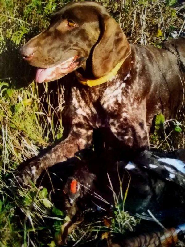 охота фазанов подмосковье фото №148