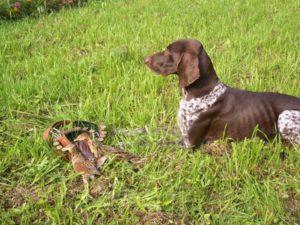 охота фазанов подмосковье фото №218