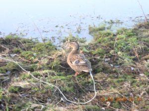 охота фазанов подмосковье фото №244