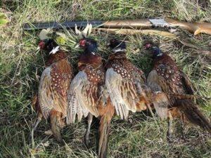 охота фазанов подмосковье фото №268