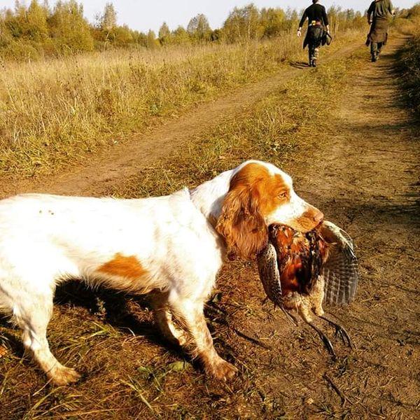 охота фазанов подмосковье фото №269