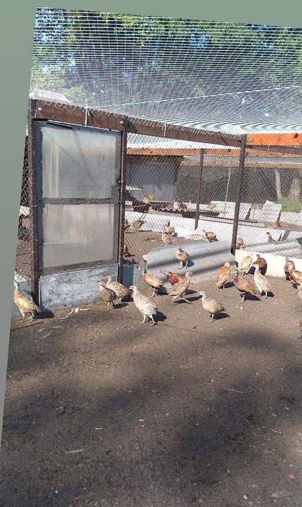 охота фазанов подмосковье фото №270