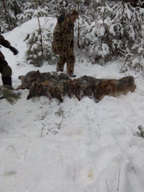 Охота на фазана в Подмосковье фото №318