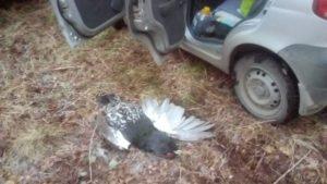 Охота на фазана в Подмосковье фото №323