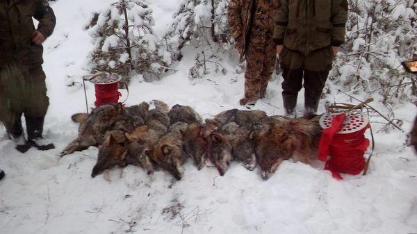 Охота на фазана в Подмосковье фото №325