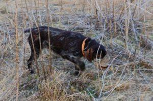 охота фазанов подмосковье фото №33
