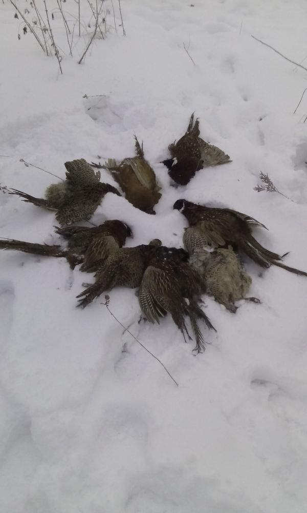 Охота на фазана в Подмосковье фото №346