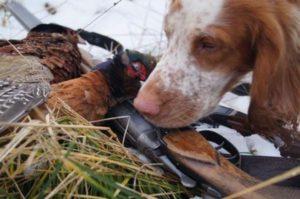 Охота на фазана в Подмосковье фото №379