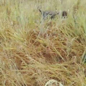охота фазанов подмосковье фото №65