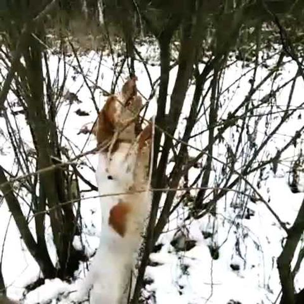 охота фазанов подмосковье фото №72