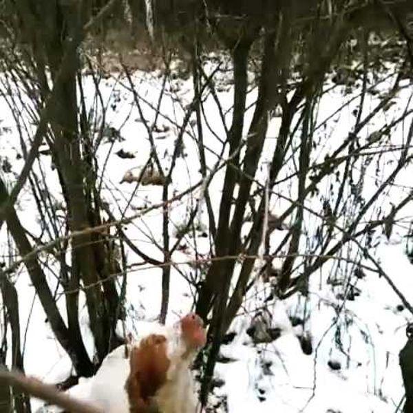 охота фазанов подмосковье фото №73