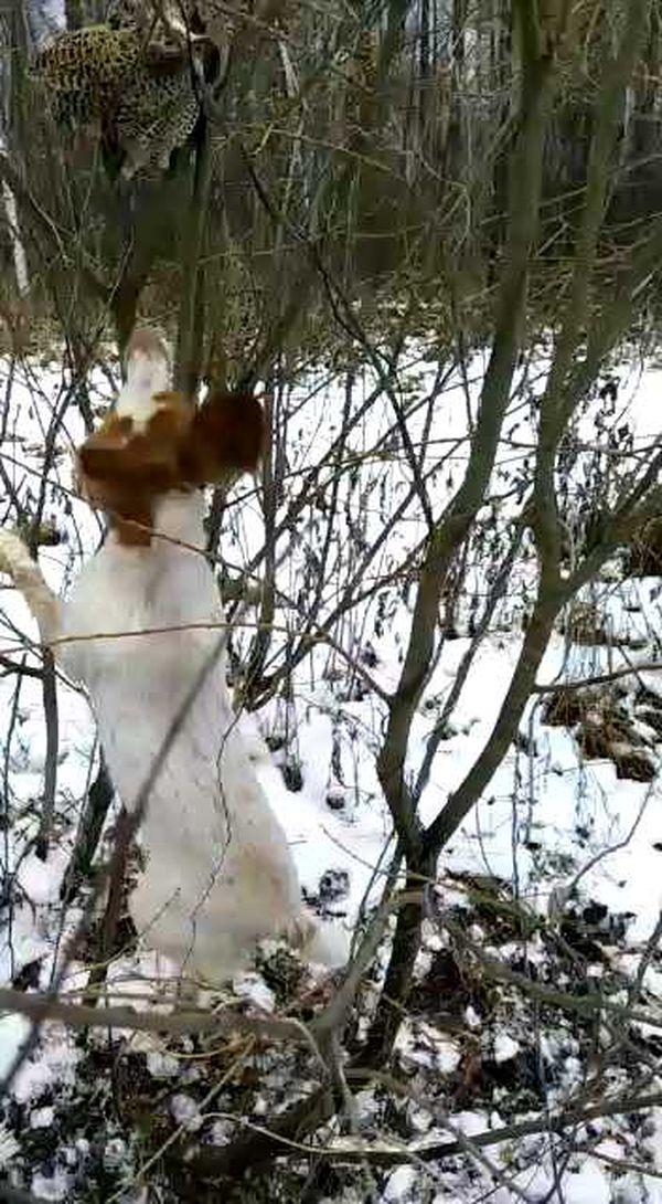 охота фазанов подмосковье фото №74