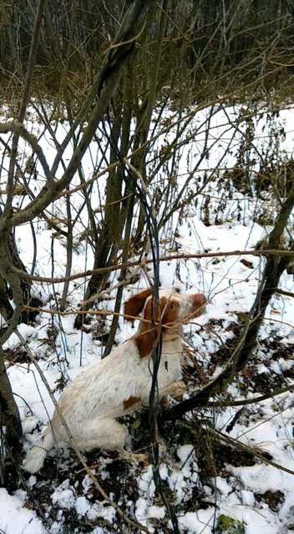 охота фазанов подмосковье фото №75