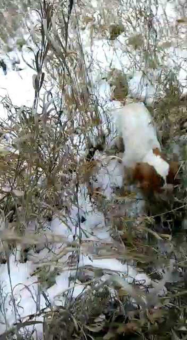 охота фазанов подмосковье фото №79