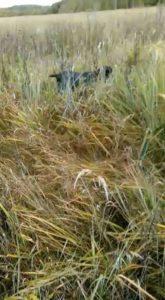 охота фазанов подмосковье фото №93