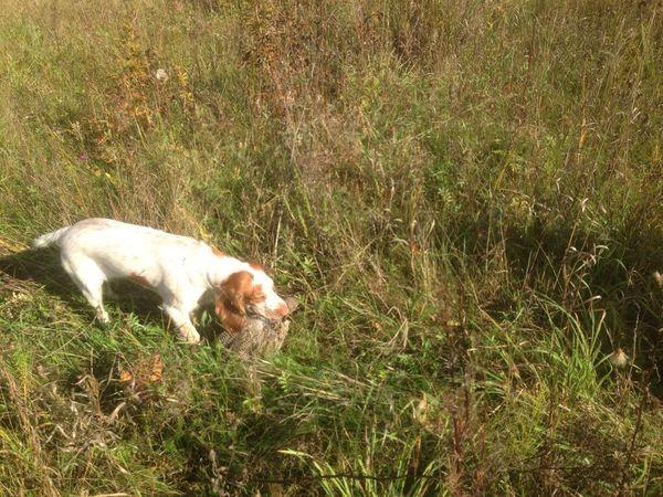 Охота на фазана в Подмосковье фото №439