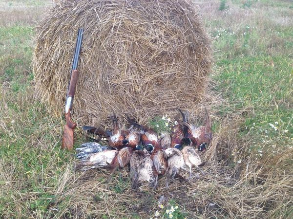 Охота на фазана в Подмосковье фото №533