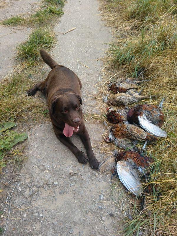 Охота на фазана в Подмосковье фото №564