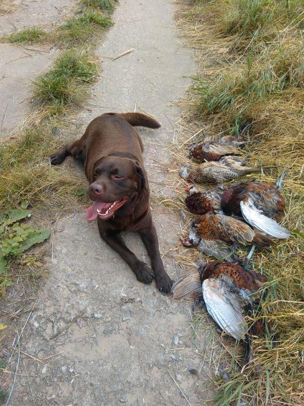 Охота на фазана в Подмосковье фото №566